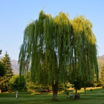 My fav... The Umbrella Tree at Botanical Garden, Srinagar
